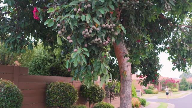 gumnuts hängande från en eukalyptus träd - eucalyptus leaves bildbanksvideor och videomaterial från bakom kulisserna