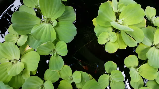 Guppy fish in a fish bowl. Guppy fish in a fish bowl with a duckweed cover. duckweed stock videos & royalty-free footage