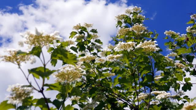 vídeos y material grabado en eventos de stock de ráfaga de viento parpadea ramas de árbol en flor y hace que sea difícil recoger polen a las abejas - insecto himenóptero