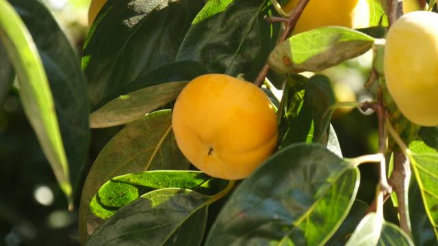 vídeos de stock e filmes b-roll de gyeongbuk, korea, focusing persimmons on a tree - diospiro