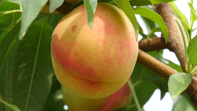 Gyeongsan, Korea, Focuse swaying peach in a farm Gyeongsan, Korea, Focuse swaying peach in a farm nectarine stock videos & royalty-free footage
