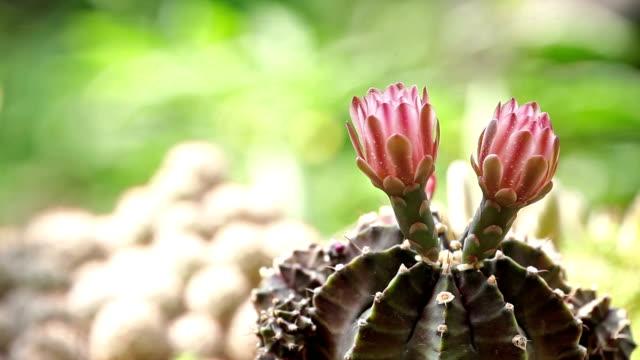 Gymnocalycium cactus flower.
