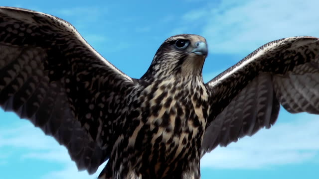 Gyrfalcon Falco Rusticolus close up. Falco Rusticolus on a windy and sunny day with light clouds in the mongolian steppe is opening his wings. falcon bird stock videos & royalty-free footage