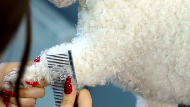 a hairdresser for dogs is combing a bichon frize dog at a hairdresser for dogs. - bichon frisé video stock e b–roll