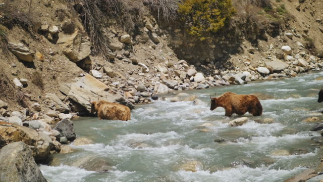 hårigbruna yaks som passerar genom en vild vattenström i bergsflodflödet - diabild bildbanksvideor och videomaterial från bakom kulisserna
