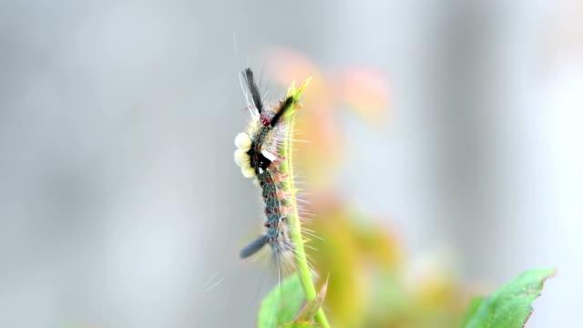 Hairy Caterpillar Hairy Caterpillar eating leaf arthropod stock videos & royalty-free footage