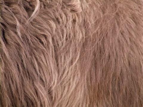 vídeos y material grabado en eventos de stock de peludo piel, soplando en el viento - peludo