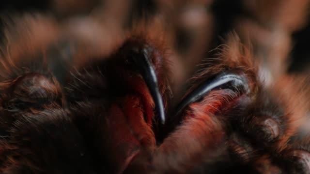 hårig, stor spindel underkäkar, chelicerae, chelicera, grammostola rosea roterande, extrem makro, nära - spindel arachnid bildbanksvideor och videomaterial från bakom kulisserna