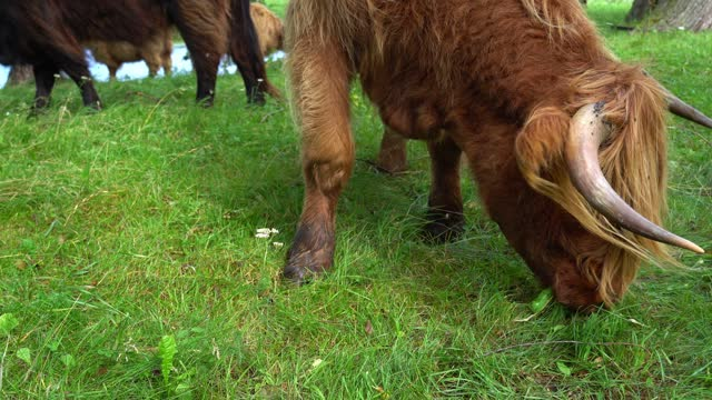 hairy orange cow highland cattle eating grass on pasture in summer day hairy orange cow highland cattle eating grass on pasture in summer day close up fur stock videos & royalty-free footage