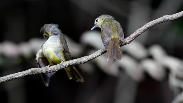 Hairy-backed Bulbul Bird Beautiful bird, Hairy-backed Bulbul (Tricholestes criniger) perching on a branch at Krung Ching Waterfall, Khao Luang National Park, Thailand. nakhon si thammarat stock videos & royalty-free footage
