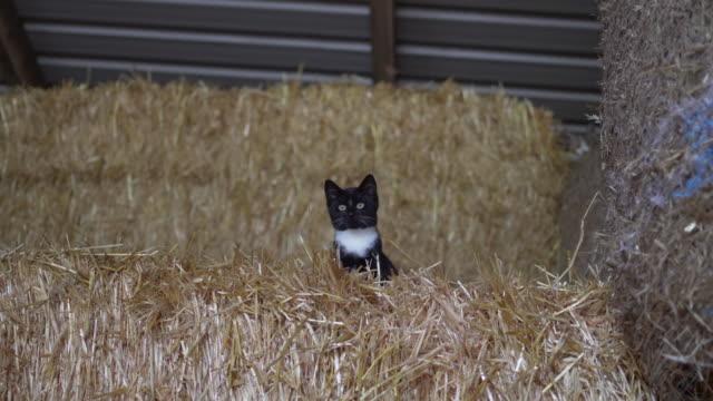 Half domesticated half wild farm cats in a hay barn.