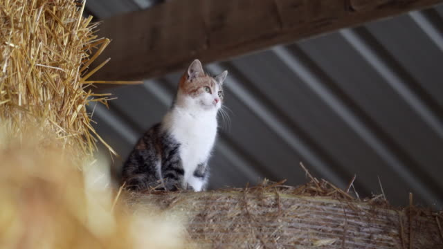 Half domesticated half wild farm cats in a hay barn. You can't touch them, they just run away. But they are very friendly and very good at their job. barns stock videos & royalty-free footage