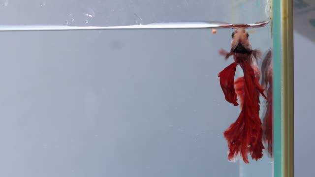 半月赤タイ戦闘魚またはとしてよりもっとよく知られている背景の水槽でベタ splendens のシャムの戦いの魚 - 動物の身体各部点の映像素材/bロール