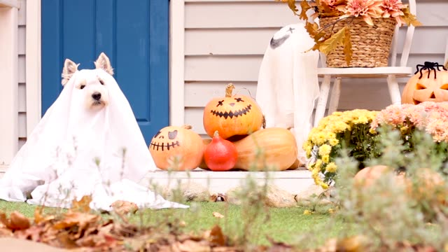 Halloween dog. Trick or treat holiday concept Funny dog west highland white terrier dressed in ghost costume is sitting near decorated with pumpkins house and waving head. Preparation for celebration. Trick or treat. Happy halloween concept. decoration stock videos & royalty-free footage
