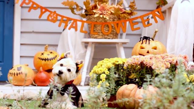 vídeos de stock, filmes e b-roll de cachorro de halloween. truque ou trate conceito de férias - enfeitado