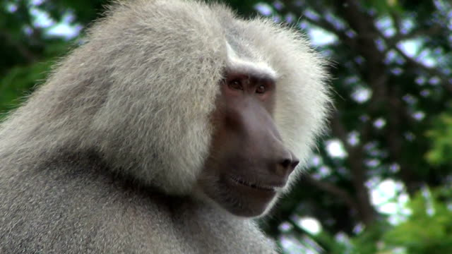 Hamadryas baboon (Papio hamadryas) watch closely against the forest.