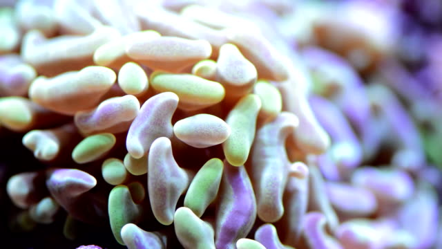 Hammer Coral Close up video of bi-colored hammer coral. hard coral stock videos & royalty-free footage