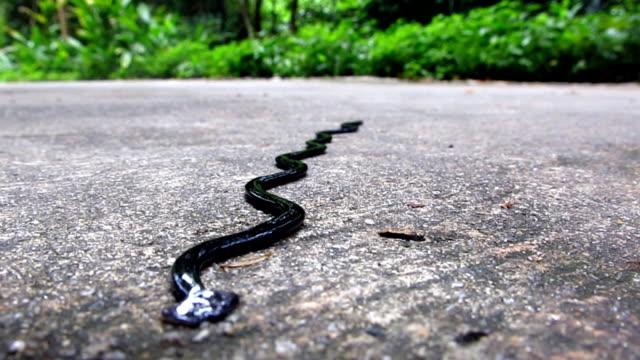 Hammerhead flat Worm (Bipalium) on street