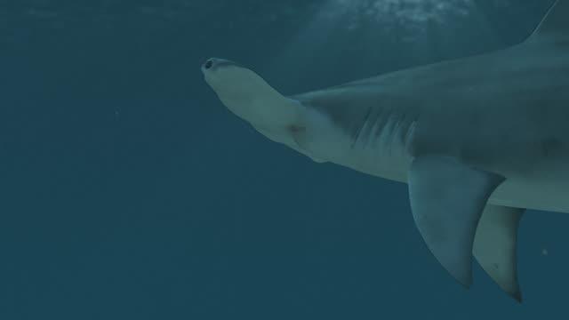 Hammerhead shark closeup video