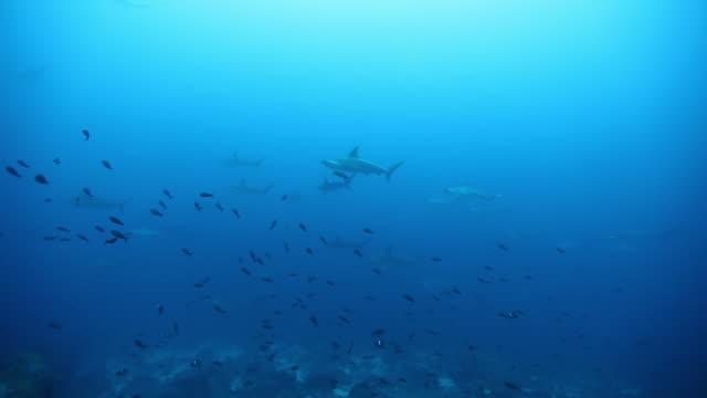 Hammerhead haai zwemt onderwater in de buurt van zeebodem van de oceaan. video