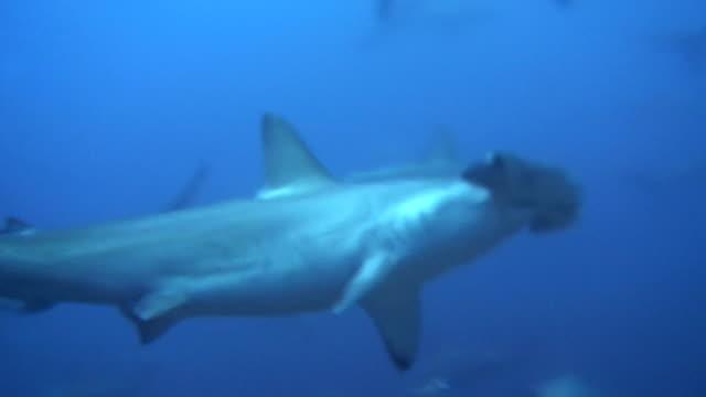 hammerhai twitching in thermocline - käfig stock-videos und b-roll-filmmaterial