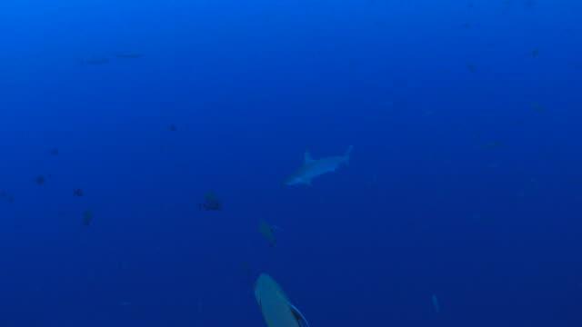 Hammerhead shark video
