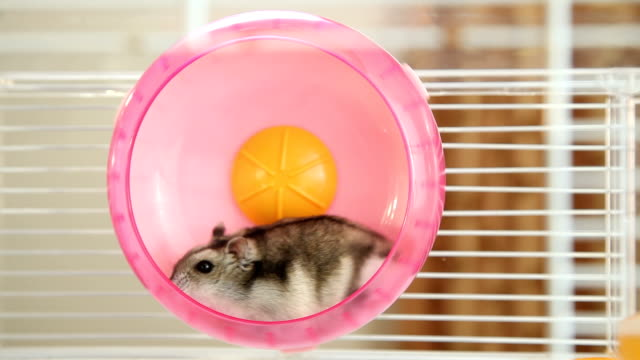 Hamster in a wheel Beautiful hamster running in exercise wheel wheel stock videos & royalty-free footage