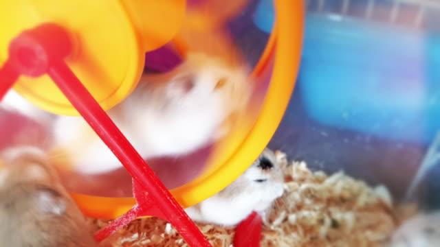 bir tekerlek hamster - kemirgen stok videoları ve detay görüntü çekimi