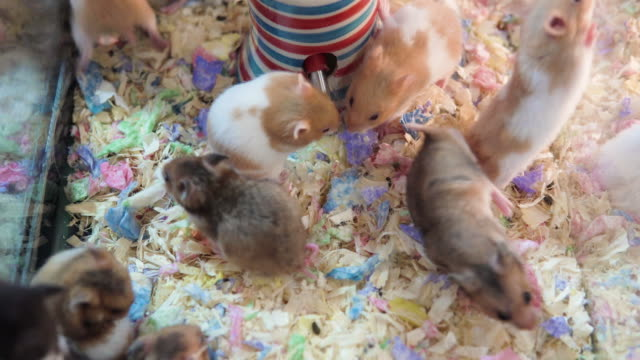 Hamster mouses drinking water and eating together in a pet shop.
