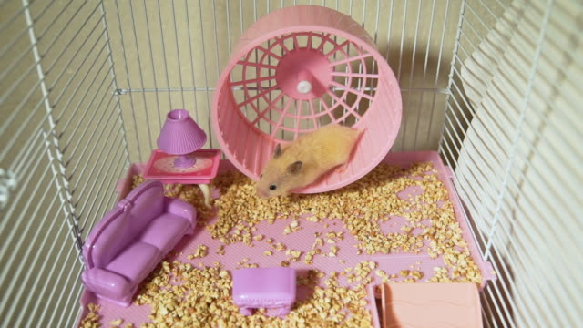 Hamster Running on a Wheel in a Cage Syrian Hamster Running on a Wheel in a Cage with Toy Furniture. Rodent at Home. Pets and Animals Concept wheel stock videos & royalty-free footage