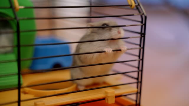 Hamster trapped in a cage biting the bars desperate to get out