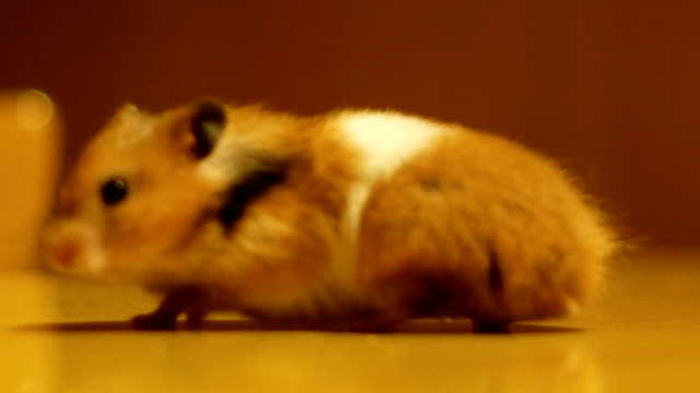 hamster turns free on a wooden table