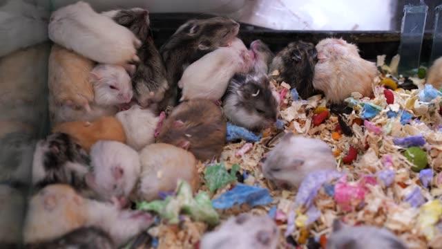 hamster - organismo vivente video stock e b–roll