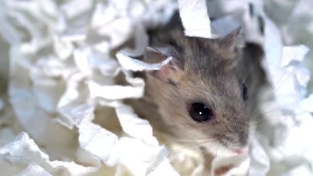 hamsterlar tuvalet kağıdıyla yuvalanmış. - kemirgen stok videoları ve detay görüntü çekimi