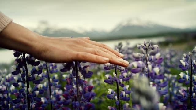 hand, blühenden lupine blumen zu bewundern. - lupine stock-videos und b-roll-filmmaterial