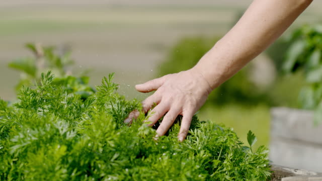slo-mo-hand streichelte frische petersilie pflanzen - weichheit stock-videos und b-roll-filmmaterial