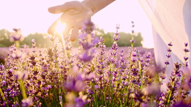 SLO MO Hand caressing lavender flowers at sunset video