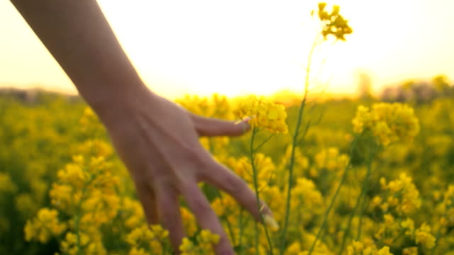 hd slow-motion: accarezzano la mano fiori di colza - colza video stock e b–roll