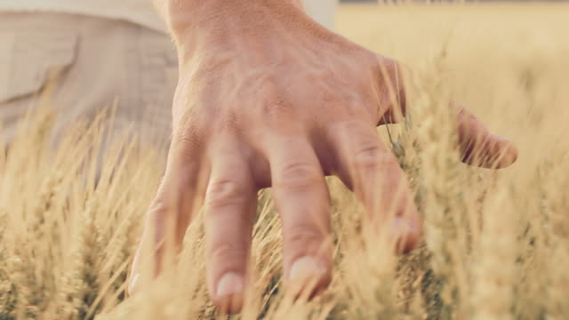 SLO MO Hand caressing wheat in the field video