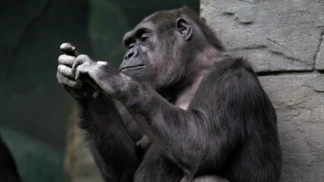 手の思いやりゴリラ雌、非常に筋肉の猿、巨大なと calloused れています。 - ゴリラ点の映像素材/bロール