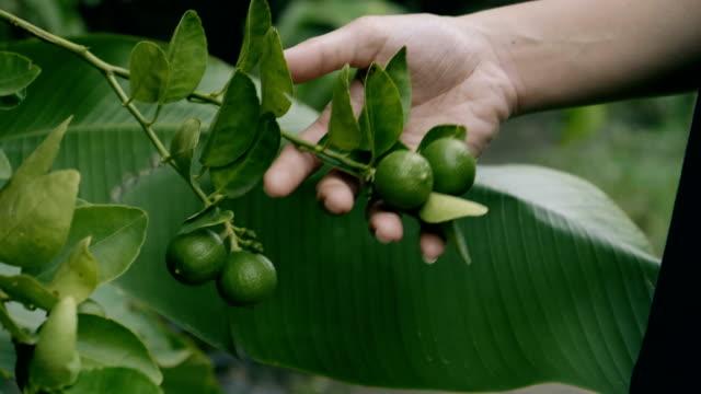 CU : Hand Checking Lemon Tree video