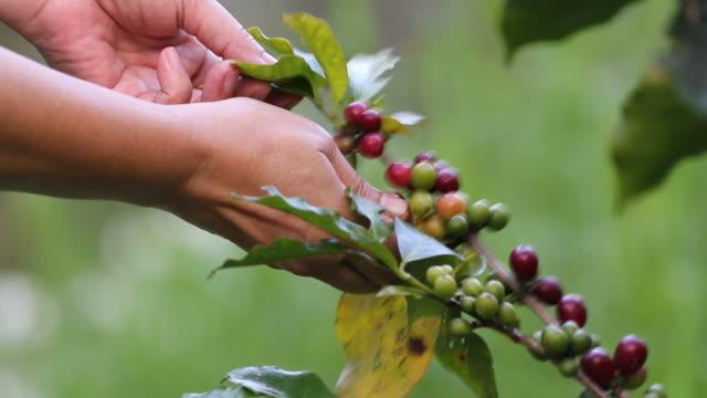 hand choosing coffee seed video