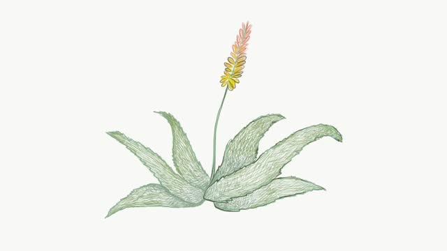 Hand Drawn of Aloe Ferox or Bitter Aloe Plant