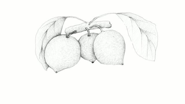 Hand Drawn of Bacupari or Garcinia Gardneriana Video Clip video