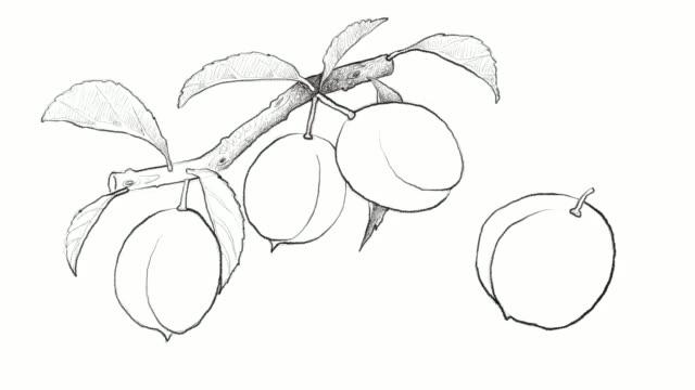 hand drawn of chinese plums video clip - brzoskwinia drzewo owocowe filmów i materiałów b-roll