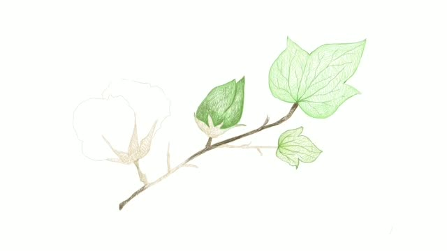 Hand Drawn of Cotton Flower and Seed Video Clip