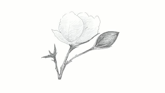 stockvideo's en b-roll-footage met hand getrokken van katoenen bloem met bud video clip - floral line