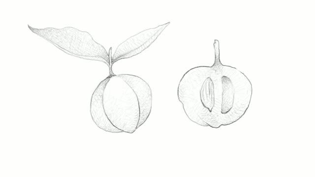 vídeos de stock e filmes b-roll de hand drawn of diospyros blancoi fruits video clip - diospiro