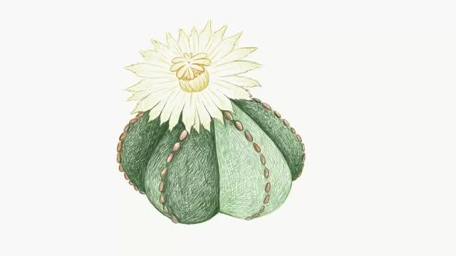 Hand Drawn Sketch of Astrophytum Myriostigma Cactus Plant