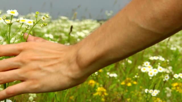 vídeos y material grabado en eventos de stock de mano suavemente caresses campo de flores, dandelions, durante el día - manzanilla